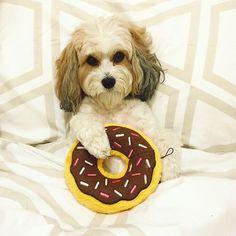 #Donut you wish it was the #weekend  #breakfastinbed #iwokeuplikethis #breakfast #bedhead #dunkindonuts #zippypaws #americarunsondunkin #dunkin #butfirstcoffee #donttalktomebeforecoffee #morningperson #eatcakeforbreakfast#breakfastofchampions  #dogmodel #bestwoof #fluffypack #lacyandpaws #cavlife #katespade #katespadeny #katespadehome #donutknowdonutcare #huffpostgram #ootd #potd #ruffpost  #dogsbeingbasic #basicbitch by zuzuthecavachon