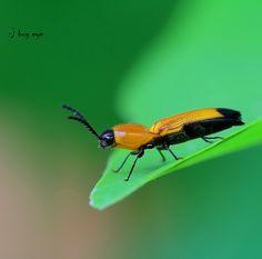 Firefly / หิ่งห้อย   Fireflies or Lightning bugs Order - Col…   Flickr