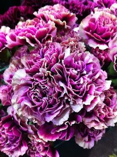 two toned lavender and purple Hurricane carnations