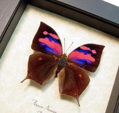 ANAEA-NESSUS-3 framed butterflies