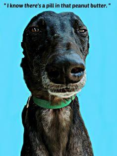 You can't fool a greyhound.unless you wrap it in sandwich meat. Greyhound Art, Italian Greyhound, Huge Dogs, I Love Dogs, Beautiful Dogs, Animals Beautiful, Magyar Agar, Lurcher, Grey Hound Dog