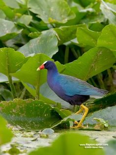 Purple Gallinule  (have seen several of this colorful bird in Florida)