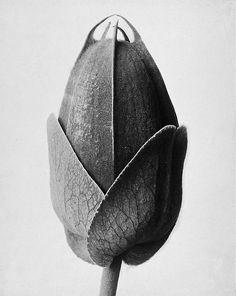 Karl Blossfeldt, Passiflora, undated, sometime between 1890-1928.