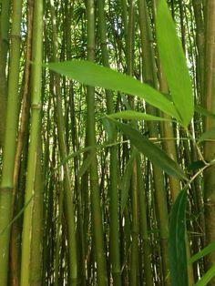 We ❤️ Bamboo Forests on Maui! #maui #travel #hawaii