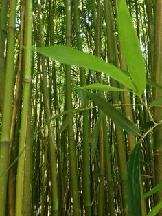We ❤️ Bamboo Forests on Maui! #maui #travel #hawaii