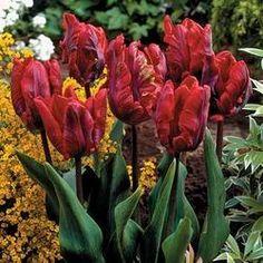 Tulip Rococo | Parkers Wholesale
