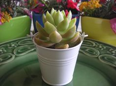 40 Succulents And White Pails Perfect Wedding by SucculentsGalore, $136.00