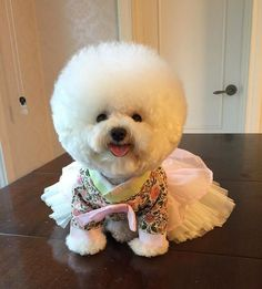 Lil' darling Bichon in a fancy frock!