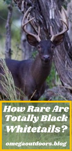 Melanistic whitetails are the absolute rarest form of whitetail known; Although, a few hunters in parts of Texas have actually had the chance to harvest these animals. Truth be told, not very much is known about melanistic whitetails, while experts believe the genetic mutations that cause albinoism actually reduces the survival rate of the animal due to predators, the melanistic mutation is believed to have the opposite effect. Whitetail Hunting, Hunting Tips, White Tail, Hunters, Predator, Harvest, Deer, Survival, Texas