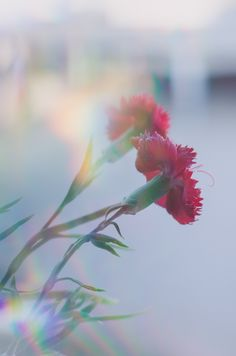 A dreamy prism photography shot of red flowers – Pin to pin Dreamy Photography, Photography Themes, Reflection Photography, Photography Gallery, Still Life Photography, Nature Photography, Photography Office, Concept Photography, Photography Articles
