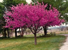 Red bud, Spring flowering trees are a species that create an impressive display. This flowering tree grows typically tall, and a spreads for a mature plant. Cercis canadensis starts flowering as early as four years old. Trees And Shrubs, Trees To Plant, Eastern Redbud Tree, Tree Seeds, Large Backyard, Le Far West, Plantar, Small Trees, Colorful Trees