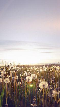 Nature Love Flower Flare Dandelion #iPhone #6 #plus #wallpaper