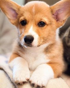 Winston is looking quite dapper in his glamour shots corgi Pet Dogs, Dogs And Puppies, Dog Cat, Cute Puppies, Doggies, Beautiful Dogs, Animals Beautiful, Dog Pictures, Animal Pictures