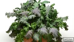"""SimplySalad Kale Storm®  A healthy, high-demand """"superfood"""" that is easy to grow. This multi-pellet mix includes kale varieties that deliver an attractive assortment of textures and colors. Both edible and ornamental, Kale Storm lasts longer in patio containers than lettuce and won't bolt. Can also be planted in the ground for all-season harvesting. Great in salads, soups, sandwiches and smoothies. A healthy snack is just a snip away."""