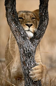 Africa | Lioness, Kruger National Park, South Africa | © Art Wolfe
