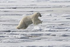 A large male polar bear leaping between ice floes near the Seven Islands.  Svalbard, Norway.