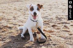 by @chanijrt . Ровно год назад в Питере было тепло Exactly one year ago in St. Petersburg was warm!#джекрасселтерьер #расселяшнаясемья #джекрассел #jackrussellterrier #jackrussell #jrt #instadog #dog #petstagram #dogsofinstagram #animal #doglover #terrier #dog_features #lovedogs #dogstagram #bestwoof #mydog #happydog #petstagram #pets #jackrussellfan #AnimalAddicts #aplacetolovedogs #dogscorner #dogoftheday #jackrussellmoments #followme #chanijrt