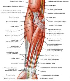 Questions d'Anatomie - page 52 Forearm Muscle Anatomy, Wrist Anatomy, Forearm Muscles, Hand Anatomy, Human Body Anatomy, Human Anatomy And Physiology, Upper Limb Anatomy, Anatomy Bones, Anatomy Study