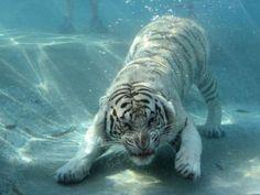 underwater albino tiger