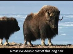 Arctic Animals and their Amazing Hair