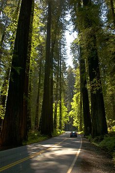 redwood national forest, humboldt ca. avenue of the giants.