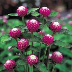 Gomphrena Bicolour Rose : Egmont Seed Company Ltd, Online seed sales Unique Flowers, Big Flowers, Exotic Flowers, Dried Flowers, Gerbera Jamesonii, Globe Amaranth, Tree Identification, Dried Flower Arrangements