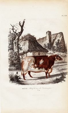 1860 Gorgeous COW  engraving beef cow pure by TwoCatsAntiquePrints, $28.00