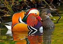 Mandarin duck couple  <3