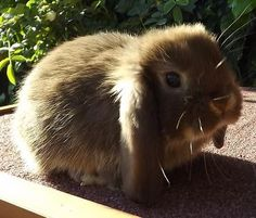 Chocolate otter Mini Lop Bunnies, Cute Bunny, French Lop, Dutch Rabbit, Netherland Dwarf, Rabbit Breeds, Selective Breeding, Holland Lop, Otters