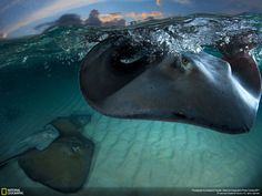 Amazing image diving with Stingrays from the National Geographic photo competition 2011- Gazzaroli Claudio