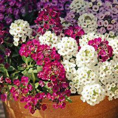 Алиссум   Алиссум — удивительный цветок, при всей своей внешней простоте он прекрасно сочетается практически с любым растением, потому часто используется дизайнерами в групповых посадках. Один из самых удачных и часто используемых вариантов — посадка данного цветка на альпийской горке.
