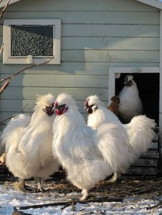 Silkies out of the hen house for the morning.