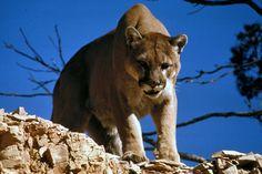cougar-puma-berglöwe-raubtier-katze-katzen