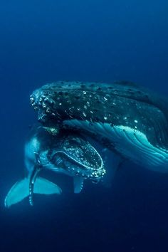 "Two precious jewels in the sea. ""Whale mother and Baby Haapai Tonga by (Darren Rice) "" Orcas, Fauna Marina, Animals Beautiful, Beautiful Creatures, Underwater Life, Underwater Pictures, Ocean Creatures, Tier Fotos, Humpback Whale"