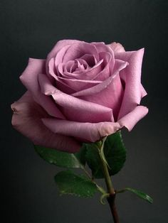 """In the Horticultural Societies of Great Britain and Belgium, offered a price of francs to the first person to produce a blue rose. The variety Blue Curiosa is the closest it get. There are no """"naturally"""" grown blue roses anywhere. Beautiful Rose Flowers, Love Rose, Exotic Flowers, Amazing Flowers, My Flower, Beautiful Flowers, Purple Roses, Pink Flowers, Rose Fotografie"""