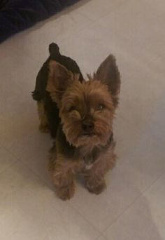 Yorkshire terrier puppies for sale coventry