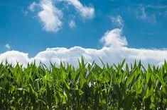 A kukoricabajusz 1 nagyszerű gyógynövény, hiszen számos növényi festéket, szaponint, tannint, illóolajat, aminósavt, valamint olyan nyomelemet tartalmaz, mint a vas, fo Permaculture, Champs, Agriculture Photos, American Agriculture, Crop Farming, Agricultural Practices, Organic Farming, Zimbabwe, Land Scape