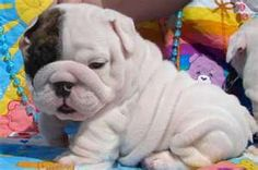 Awww :) this is why i love english bulldogs! There wrinkles are sooo cute!