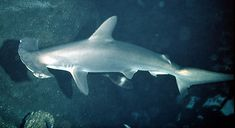 tubarão tigre vs tubarao branco - Pesquisa Google