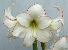Amarillys picotee fiore di zucchero