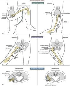 Femoral-on-Pelvic Hip Rotation - Chiropractic Therapy Hip Anatomy, Anatomy Bones, Human Body Anatomy, Human Anatomy And Physiology, Muscle Anatomy, Spine Health, Medical Anatomy, Fitness Workouts, Massage Therapy