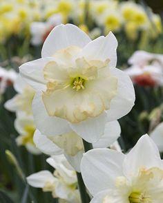 "Daffodil ""Changing Colors"" - Daffodil Bulbs | DutchGrown®"