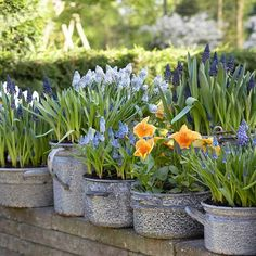 galvanized pans, muscari and pansies