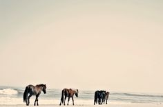 Wild horses of Corolla, Outer Banks, NC.