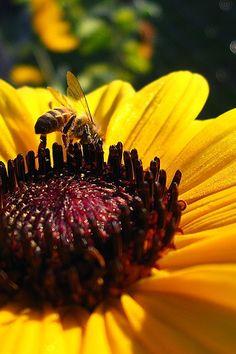 Girasol | Sunflower