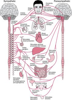 Overview of the Autonomic Nervous System - Brain, Spinal Cord, and Nerve Disorders - MSD Manual Consumer Version Nerve Disorders, Autonomic Nervous System, Medical Anatomy, Human Anatomy And Physiology, Body Anatomy, Nerve Anatomy, Nursing Notes, Medical Science, Science Education