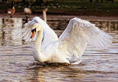 Swan, Bird, Nature, Animal, White