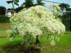 01. Noivinha: Euphorbia leucocephala. Ela também é conhecida por outros nomes populares como: mês de maio; neve da montanha; cabeça branca; leiteiro-branco; cabeleira-de-velho; flor-de-criança e chuva-de-prata. Durante o mês de maio, suas folhas verdes, ficam brancas, tornando-a linda e encantadora. Em junho suas folhas já voltam a coloração verde. É uma árvore de porte pequeno, que não atinge 3 metros. Não agride a calçada e nem prejudica a fiação elétrica.
