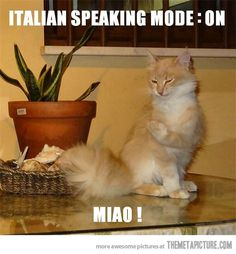 Italian speaking cat