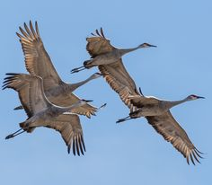 Sandhill Cranes on 3/8/15. Thousands in the fields south of Great Bend.